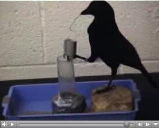 Crow Uses Wire To Get Food