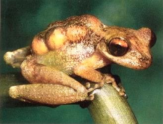 PygmyMarsupialFrog