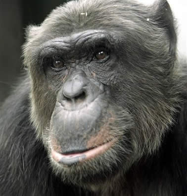 NonHumanChimpanzee